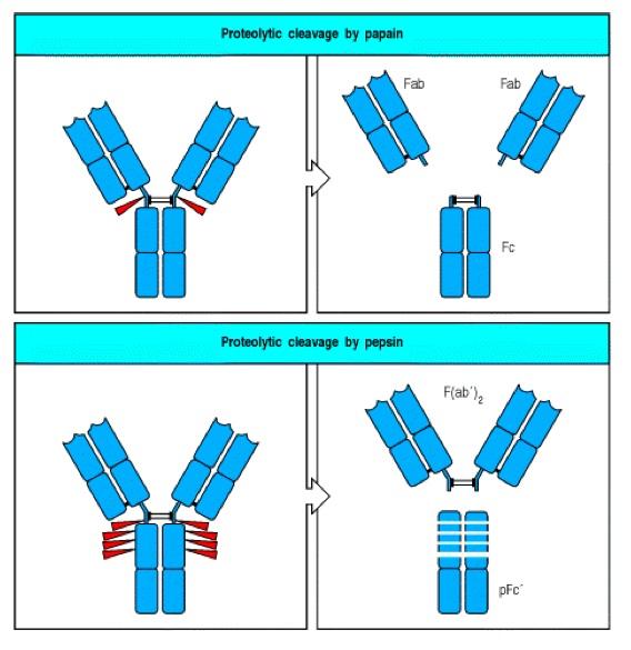 Figura I3 - Kindt TJ, Goldsby RA, Osborne BA, Kuby J. Kuby Immunology. W. H. Freeman; 2007.
