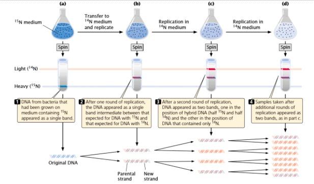 Figura G2 - Experiência realizada por Meselson e Stahl que demonstrou a replicação semiconservativa do DNA. Fonte: Pierce BA. Genetics: A Conceptual Approach. W. H. Freeman; 2013.