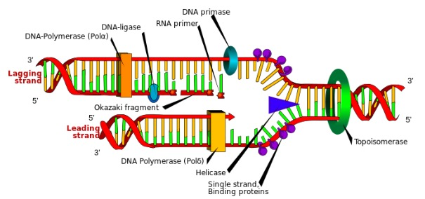 Figura G5- Replicação do DNA em organismos eucariotas. Fonte: https://commons.wikimedia.org/wiki/File:DNA_replication_en.svg#/media/File:DNA_replication_pt.svg
