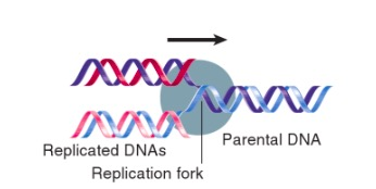 FIGURA G3 - Garfo de replicação. Fonte: Krebs JE, Lewin B, Goldstein ES, Kilpatrick ST. Lewin's GENES XI. Jones & Bartlett Learning; 2014.